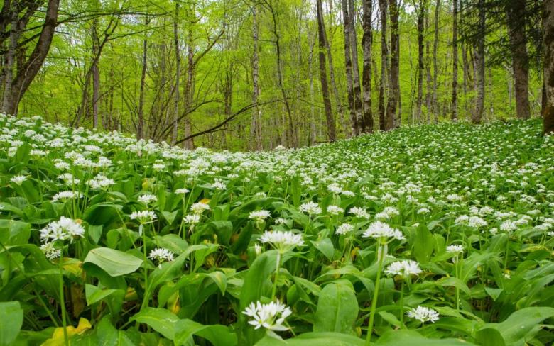 Луковая полянка в лесу