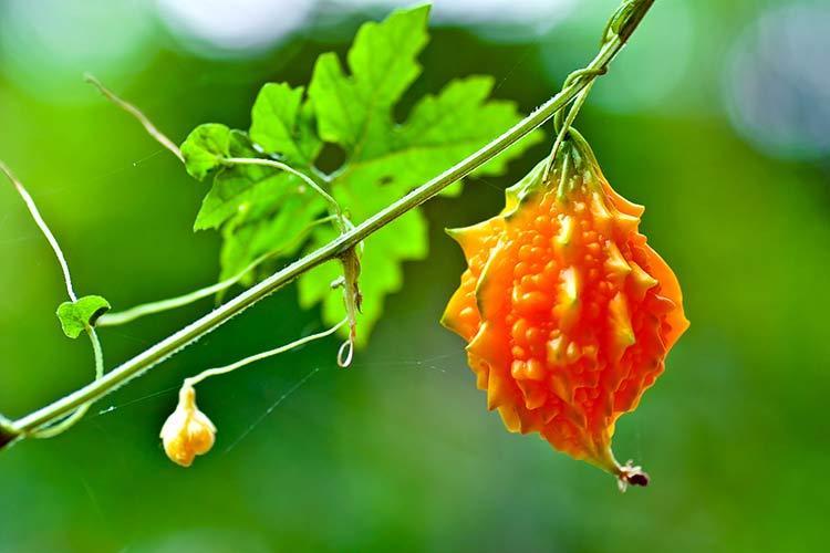 Плод момордики в природе
