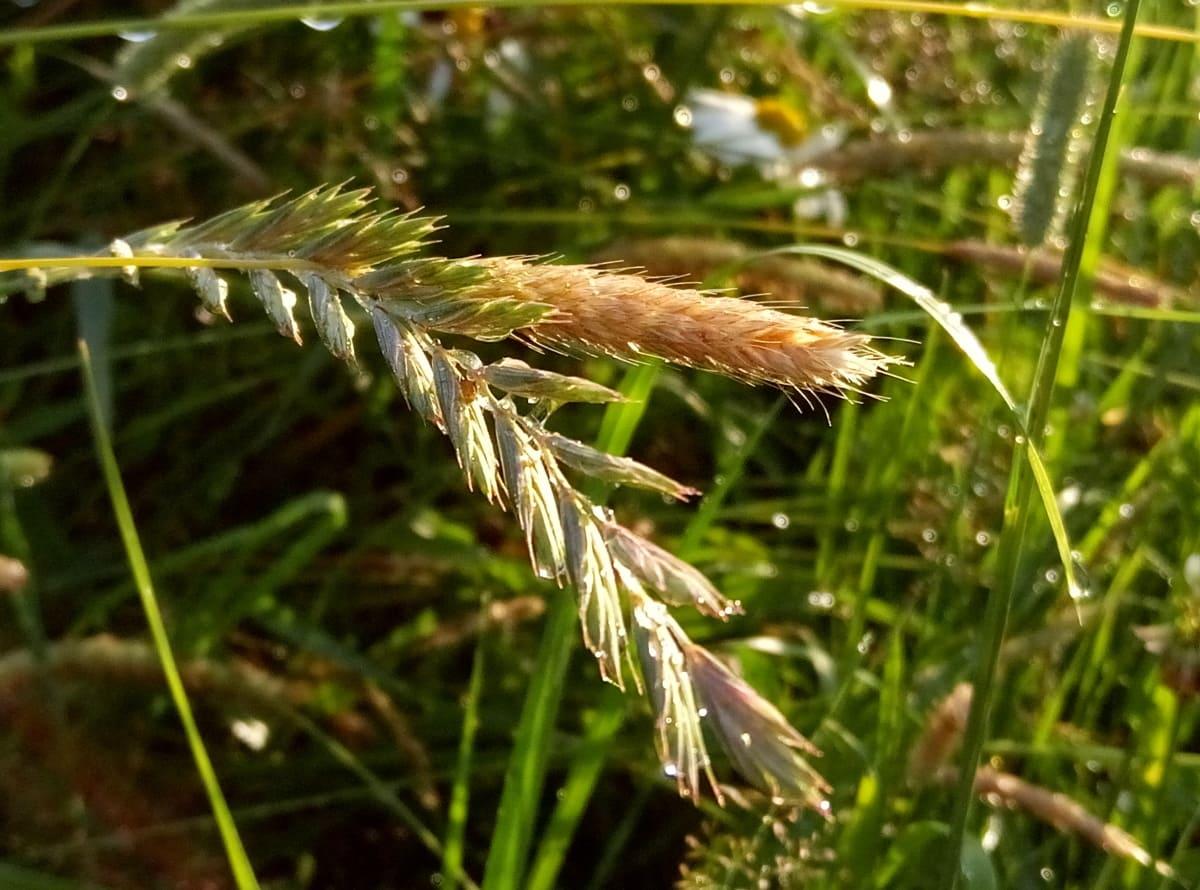 Сорняк пырей-трава: лечебные свойства и противопоказания, описание пырея ползучего