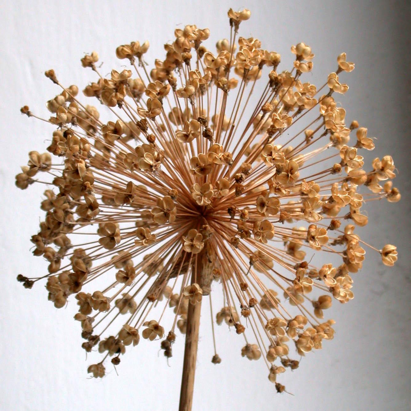 Сухоцвет декоративного лука