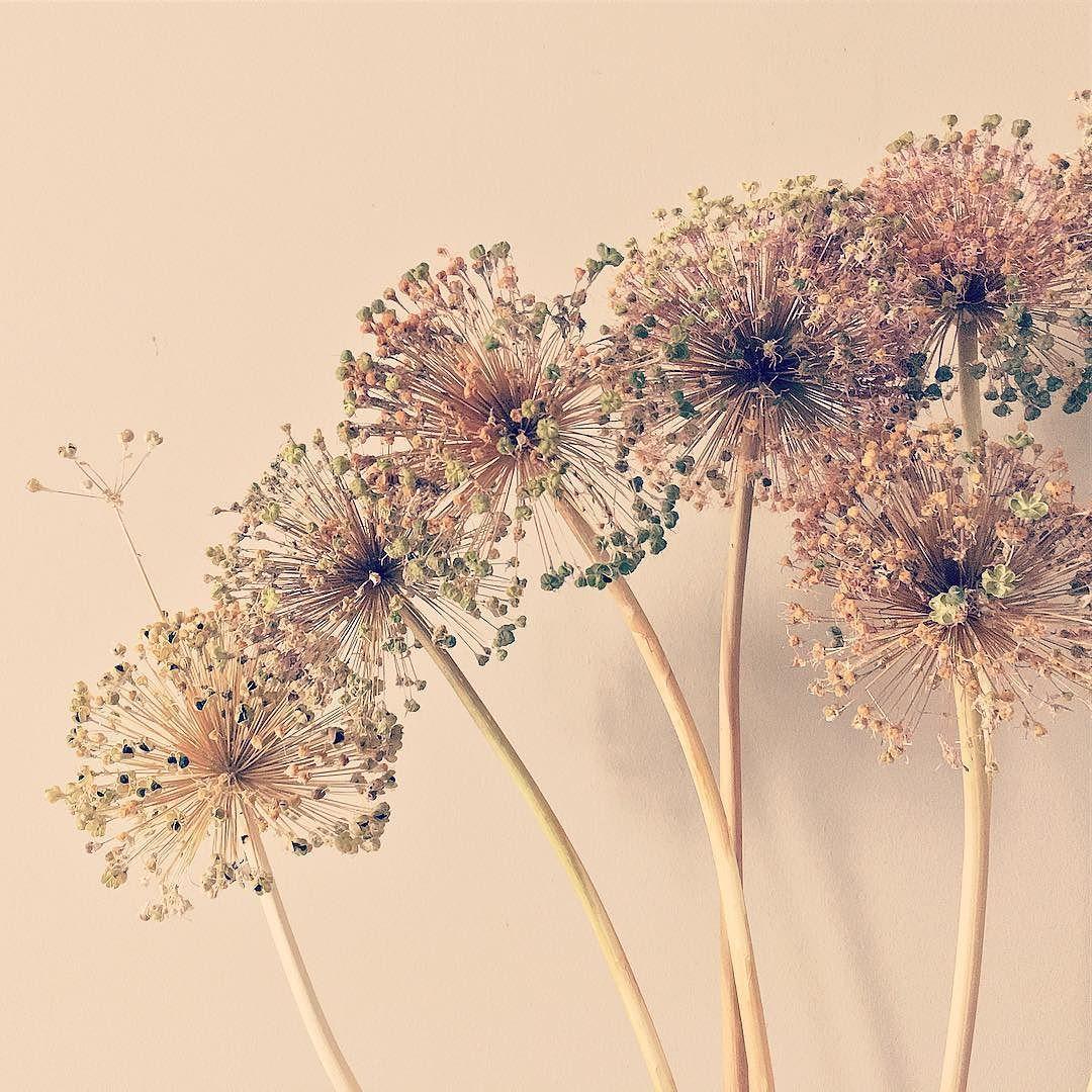 Сухое соцветие декоративного лука
