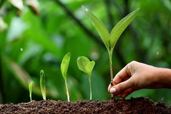 Выращиваем черемшу