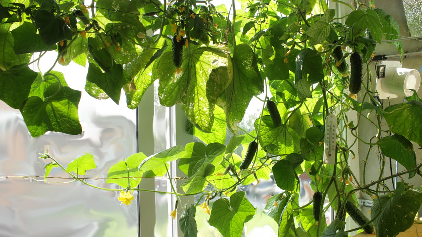 Выращивание огурцов на подоконнике зимой в квартире