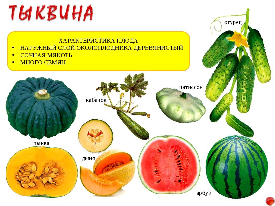 Тип плода — многосемянная сочная ягода, тыквина