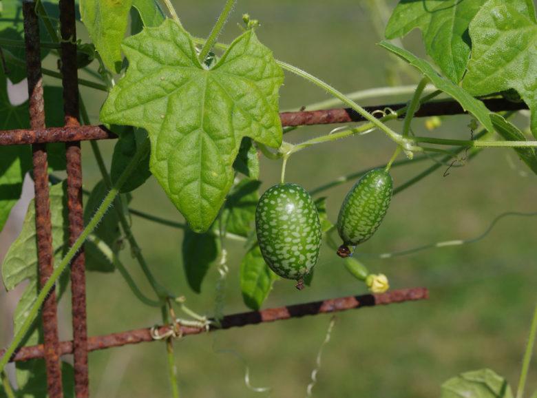 завязи и плоды