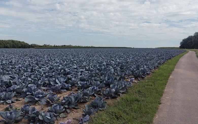 Плантация синей капусты