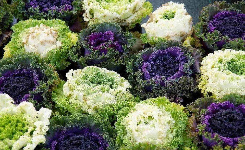 Посадка декоративной капусты