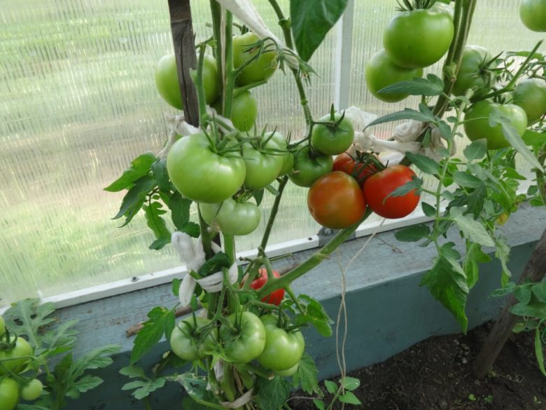 как пасынковать низкорослые помидоры в теплице пошагово