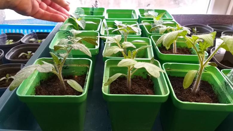 подкормка рассады томатов монофосфатом калия после пикировки