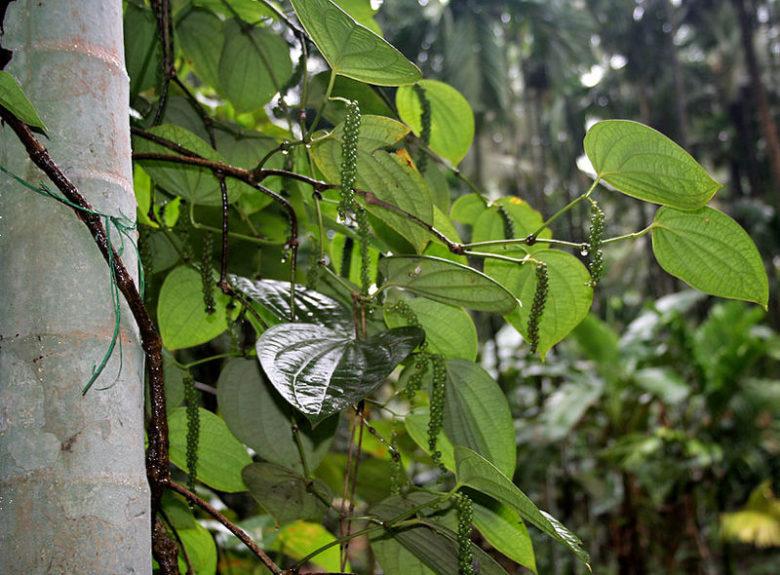 Лиана черного перца на естественной древесной опоре