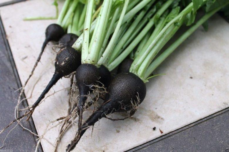 Черный редис