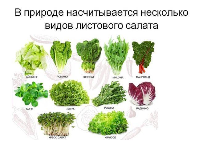 Разновидности листового салата