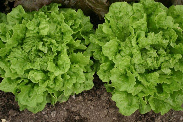 Сорт листового салата Гасконь
