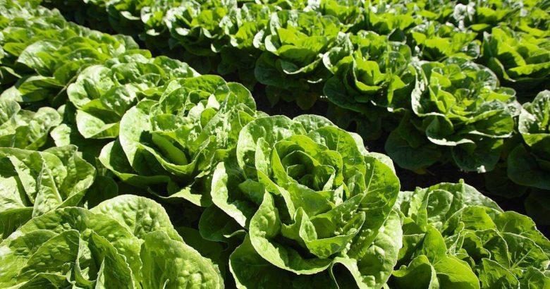 Для здорового салата нужны здоровые условия