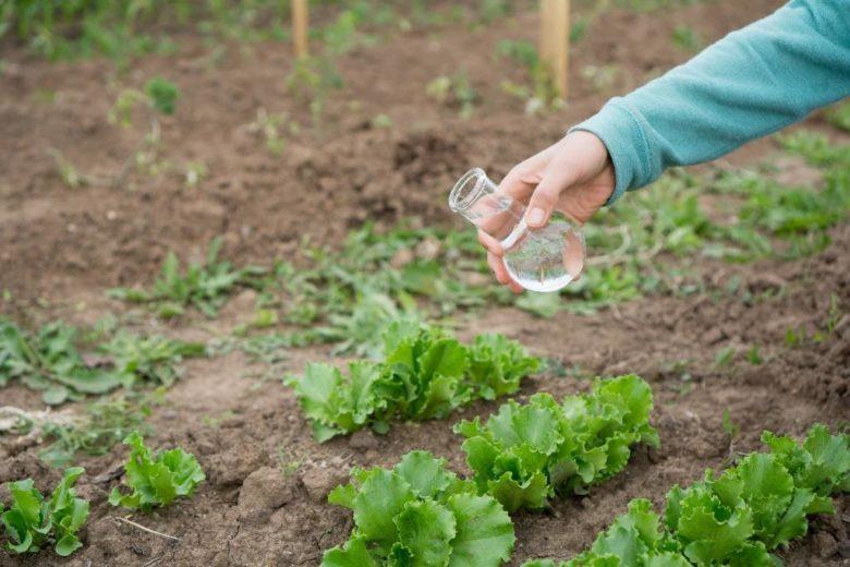 Лучше подкармливать салат до высадки, а не после