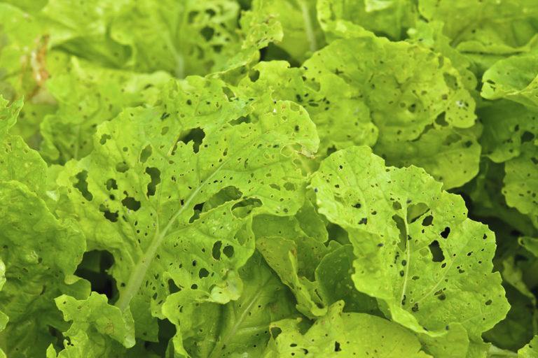 Поврежденный вредителями салат, к сожалению, испорчен