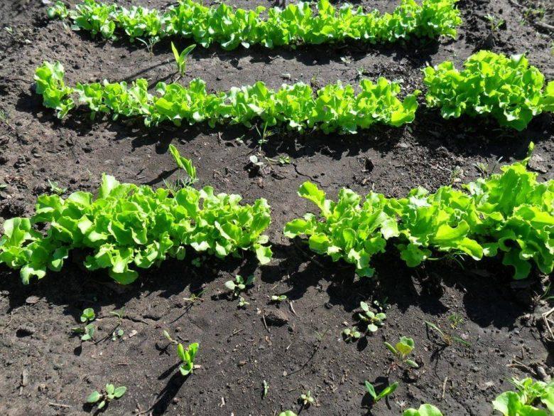 Салат нужно оберегать от сорняков