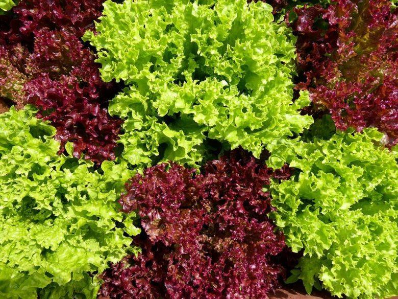 vybirajte-luchshie-sorta-salata-i-samye-silnye-seme-780x585.jpeg