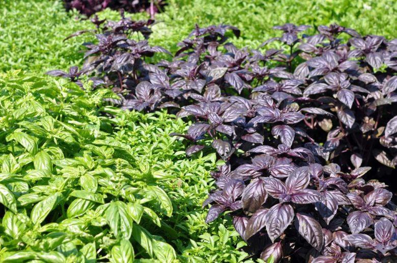 Для получени хорошего урожая базилика важно знать сроки созревания каждого сорта.
